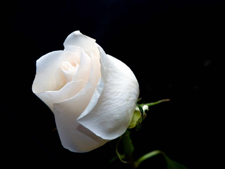 http://www.portalrosas.com/Imagenes/flor-de-rosa-blanca.jpg