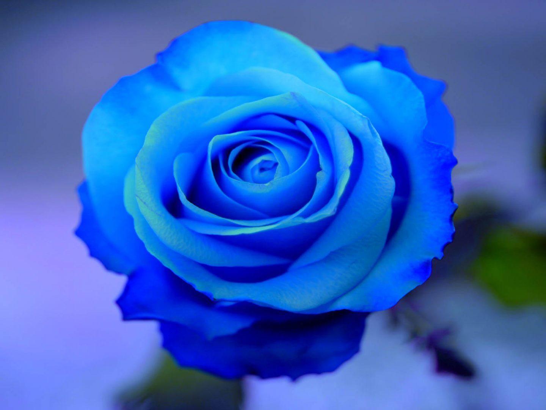 Resultado de imagen para rosa azul