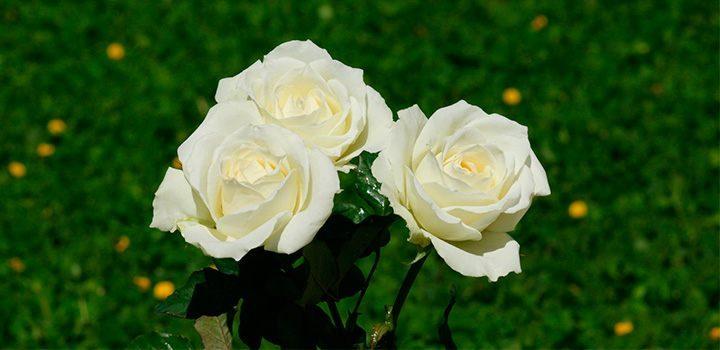 Fotos de rosas blancas