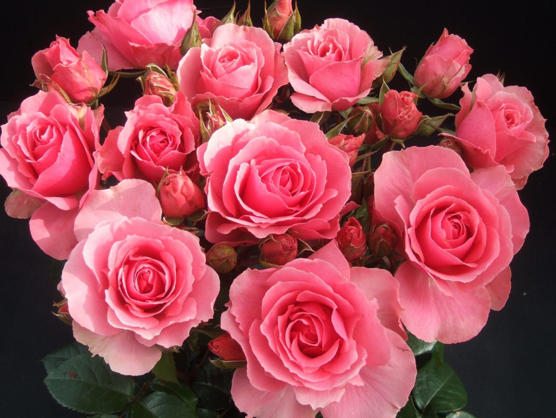 ramo de rosas rosadas imágenes y fotos