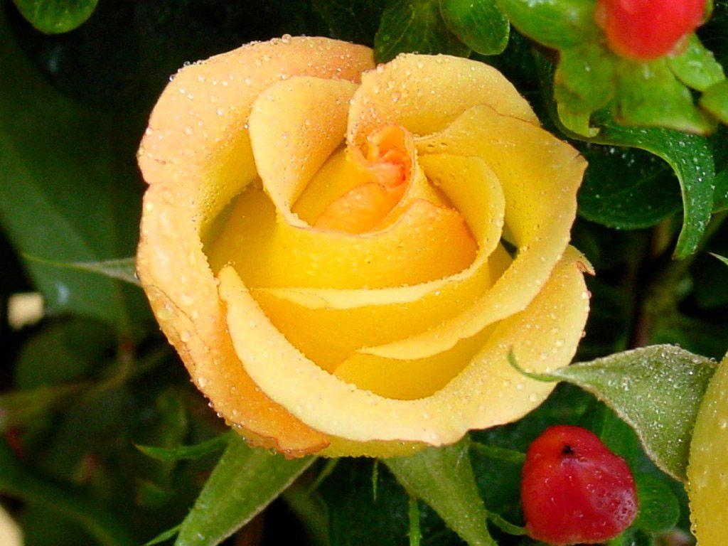 Beautiful Desk Galer 237 A De Im 225 Genes Fotos De Rosas