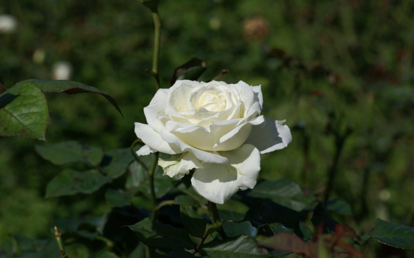 Rosa Blanca Silvestre Imagenes Y Fotos