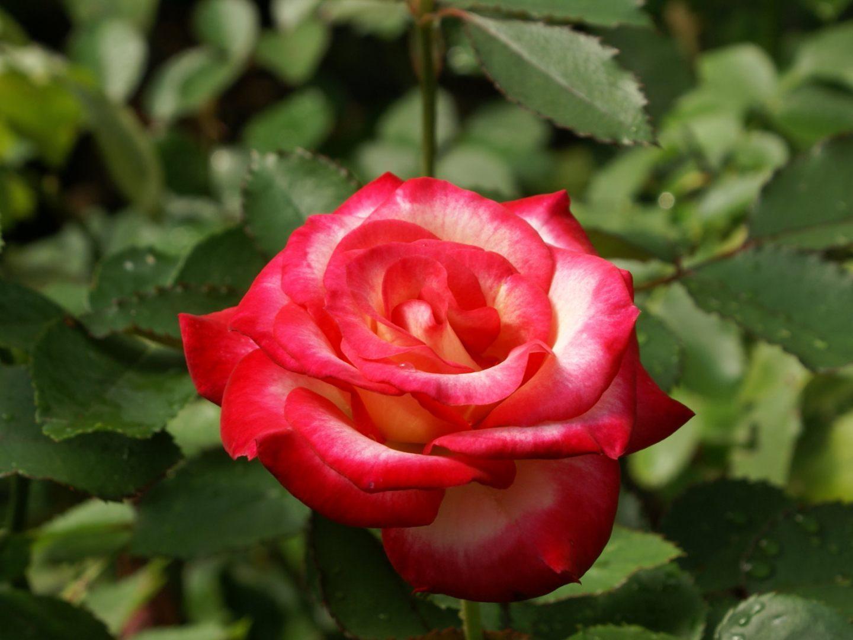 Rosa blanca y rosa silvestre