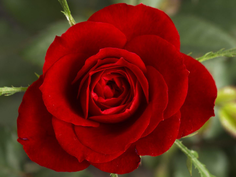 Resultado de imagen de imagenes de rosas