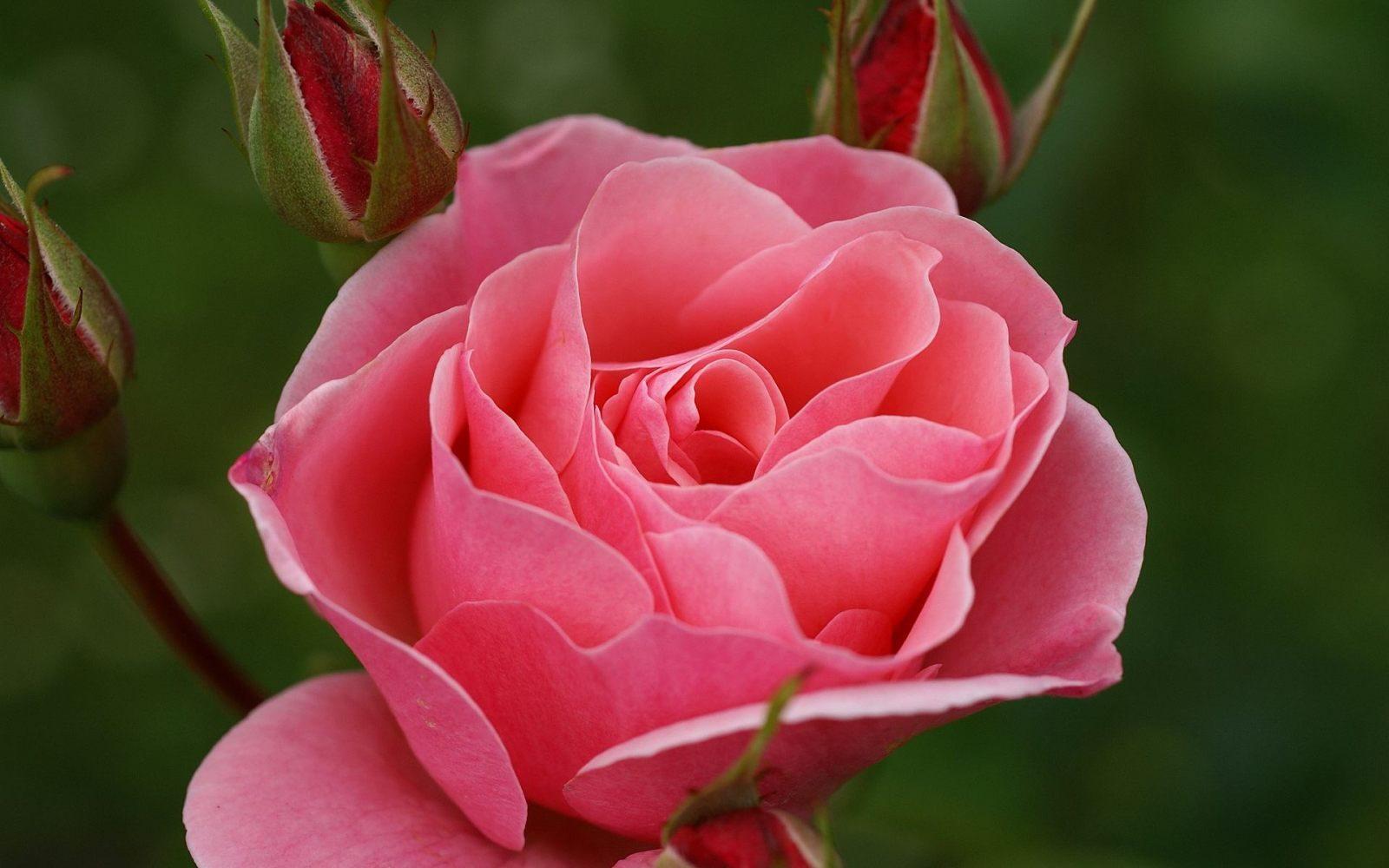 galer a de im genes rosas rosadas. Black Bedroom Furniture Sets. Home Design Ideas