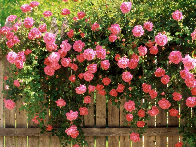 El juego de las palabras encadenadas-http://www.portalrosas.com/Imagenes/rosal-de-rosas-rosadas.jpg