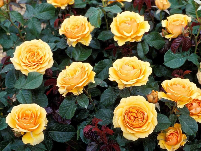 Rosas Amarillas Silvestres Imagenes Y Fotos