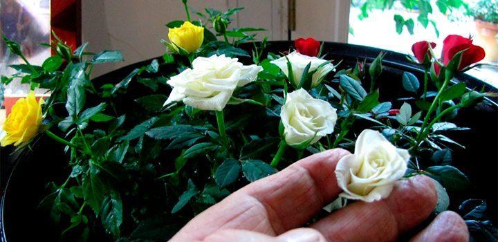 Rosas en miniatura - Rosales en macetas ...