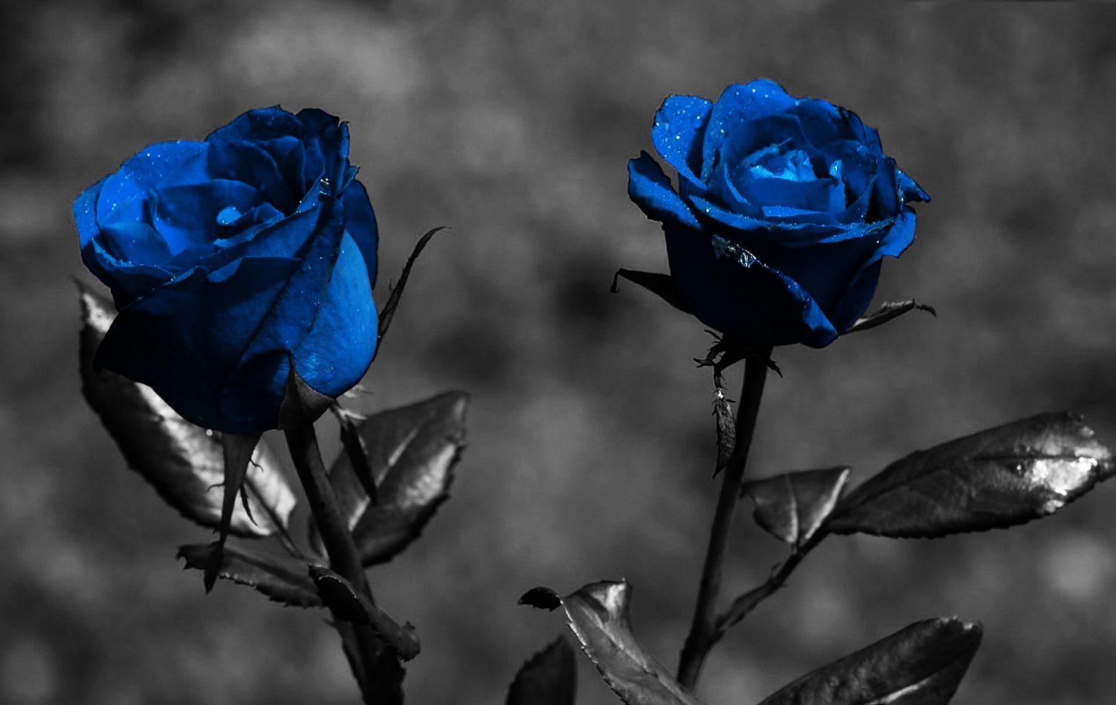 Wallpaper de rosas azules